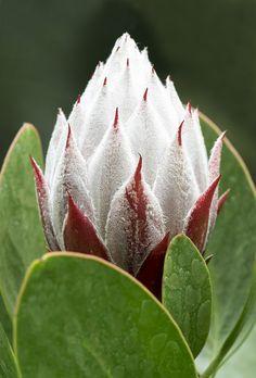 King Protea (King Sugar Bush) | por Roniyo888 Unusual Flowers, Amazing Flowers, Beautiful Flowers, Protea Art, Protea Flower, Australian Native Flowers, Australian Garden, Lilies Of The Field, Garden Shrubs