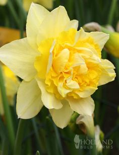 Dick Wilden Daffodil. Double flowered narcissus of huge lemon-yellow cups with a ruffled centre. (30-45 cm)