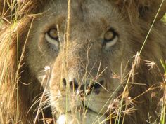 Lion eyes, Botswana    To have the courage of a 'Lion' one could move mountains! BEAUTIFUL face, ♥ Kat~