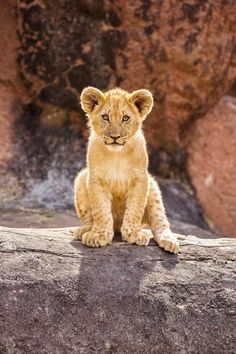 Alpha lion cub is trying to be like his father❤
