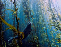 This portrait of a poised harbour seal peeking through a kelp forest has won the University of Miami's annual underwater photography contest. Photo: Kyle McBurnie. http://www.newscientist.com/article/dn23650-portrait-of-shy-seal-in-underwater-forest-wins-contest.html