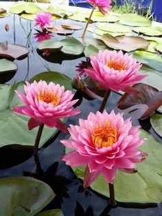 Lotus Beautiful Flowers Garden, Exotic Flowers, Amazing Flowers, Beautiful Roses, Lotus Flowers, Lily Garden, Rare Orchids, Calla, Flower Phone Wallpaper