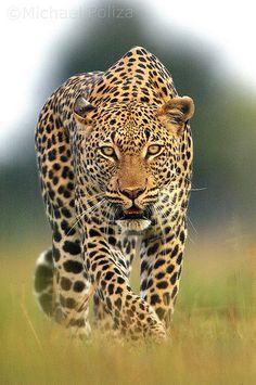 Stalking Leopard, near Vumbura, Okavango Delta. Botswana | ©Michael Poliza