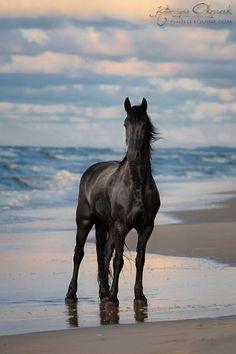 Friesians - Equine Photography Katarzyna Okrzesik