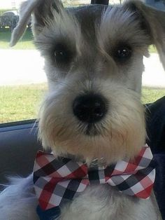 Ranked as one of the most popular dog breeds in the world, the Miniature Schnauzer is a cute little square faced furry coat. It is among the top twenty favorite Schnauzers, Miniature Schnauzer Puppies, Schnauzer Puppy, Cute Puppies, Dogs And Puppies, Cute Dogs, Yorkies, Cockerspaniel, Dog Grooming