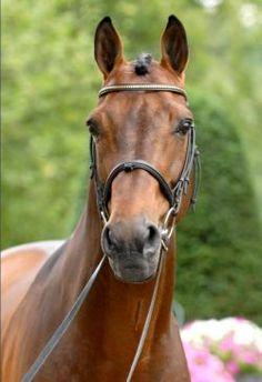 Danish Warmblood stallion Concetto