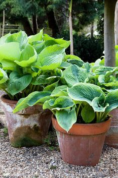 Hostas in pots. Hostas in pots. Hosta Plants, Shade Perennials, Potted Plants For Shade, Planters For Shade, Shade Plants Container, Tropical Garden, Tropical Plants, Garden Seeds, Garden Pots