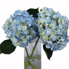 Hydrangea Bicolor Ivory with Hint of Blue Flower bunch 350 Hydrangea Bouquet, Rose Bouquet, Hydrangeas, List Of Flowers, Bunch Of Flowers, Blue Flower Centerpieces, Astrantia, Light Blue Flowers, White Peonies