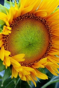 Sunflower 'Sunspot' (dwarf Sunflower), (photo by Mikhail Urusus)