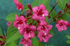 ...die schönste Blume in meinem Garten! :-)