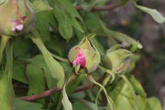 Camellia blossoms. #naturalbeauty