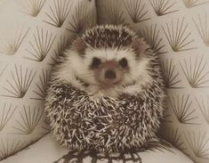 76 Adorable Hedgehog Pics To Celebrate Hedgehog Day Cute Animal Memes, Funny Animal Videos, Cute Funny Animals, Cute Baby Animals, Animals And Pets, Cute Cats, Pygmy Hedgehog, Cute Hedgehog, Baby Animals Pictures