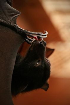 Bats are very clean animals. The groom theselves almost constantly to keep their fur soft and clean, like cats with wings.