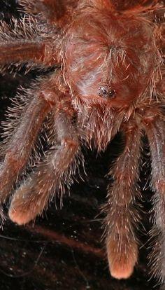 pink toe tarantula face