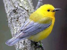 The yellow bird: The Yellow Birds Pretty Birds, Love Birds, Beautiful Birds, Animals Beautiful, Small Birds, Little Birds, Colorful Birds, Yellow Birds, Grey Yellow