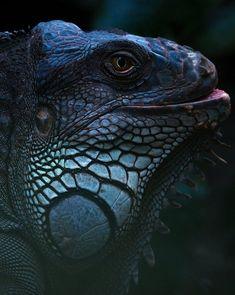 nature-planet:  It's called an Iguana.. | Sylvain Fleur