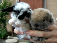netherland dwarf bunnies - Google Search