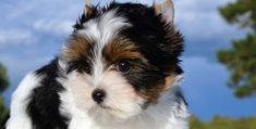 30 Small Hypoallergenic Dogs That Don't Shed Learn what food is good for your . - 30 Small Hypoallergenic Dogs That Don't Shed Learn what food is good for your beloved dog and kno - Biewer Yorkie, Shitzu Puppies, Yorkies, Havanese Dogs, Spaniel Puppies, Bichon Frise, Puppys, Puppies That Dont Shed, Dog Breeds That Dont Shed