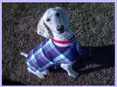 """""""Louie"""" is a 6 year old standard poodle with a very sweet heart that was rescued from horrible conditions"""