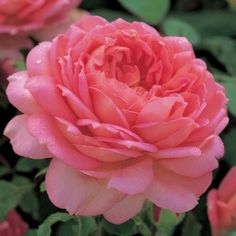 Jubilee Celebration English Rose  Rich salmon-pink blooms with tints of gold on the underside of the petals. Delicious fruity rose fragrance...