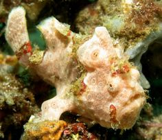 These are a few of my favorite species: Painted Frogfish