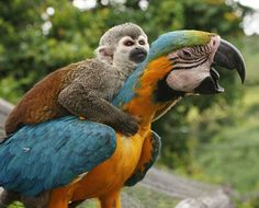 A lazy monkey hitches a ride to the top of a tree - sitting on the back of a parrot. The squirrel monkey hopped onto the bird and wrapped his arms around its neck to avoid the 26 foot climb. He lives with a male and female blue and gold macaw at a countryside hotel, where they always eat and play together. The photographer was in San Agustin, Colombia, when he noticed the unusual friendship - photo by Alejandro Jaramillo