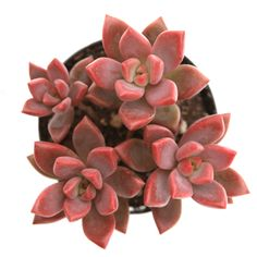 Crassula 'Moonglow' is a super cool succulent with extra chubby grey/green leaves that form an upright column. Keep an eye out for the cutest spring blooms! Buy Succulents Online, Types Of Succulents, Cacti And Succulents, Planting Succulents, Cactus Plants, All Plants, Indoor Plants, Cactus Y Suculentas, Spring Blooms