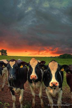 Ideas for dairy farm life cattle Farm Animals, Animals And Pets, Cute Animals, Beautiful Creatures, Animals Beautiful, Beautiful Sky, Foto Cowgirl, Cute Cows, Cow Art