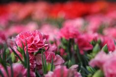 """Carnations:  """"… the fairest flowers o' the season are our Carnations and streak'd Gillyvors"""" - The Winter's Tale, Act IV, Scene III"""