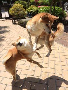 【写真】芝犬VS柴犬。超はしゃいでいる決定的瞬間。 かっこいい写真だなー。 柴犬かわいい~。 (元記事: facebook.com )...続きを読む