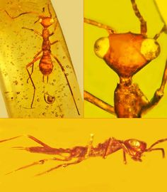 "Alien-looking"" insect found trapped in amber  