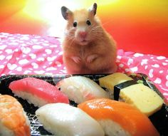 Unexpectedly Funny Things to do with Hamsters When You're Bored ~ The Ark In Space #sushi