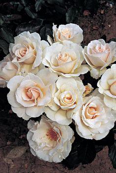 RP: Margaret Merril (floribunda) Rosa 'Margaret Merril = 'Harkuly'':