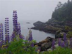 Maine coast lupines
