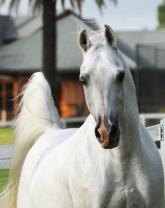 Grey Arabian Stallion - TS AL MALIK