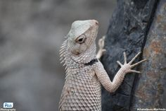 Indian Chameleon | Kachindo is the only species of chameleon found in India, Sri Lanka and other parts of Asia. I have captured this photo of the...