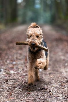 Airedale, fetching at full speed  We had a terrier when I was a kid, beautiful dog but she wound dart when ever mom would open the front door.