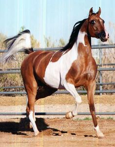 AP DUETTE+/   (THE COLOR OF FAME  x  ALADA PIZZAZ x Alada Baskin)  HAHR #340161 / 2000 HA/AA Stock / Hunter Mare.   This beautiful Bay-Tobiano Mare has won so much there is no way to list it all.  She is a MULTI-Regional Champion and Reserve Champion Mare, a Champion Regional Yearling Filly, Champion Regional AAOTH Mare, she is a two-time Reserve National Champion Mare - Futurities and AAOTH.  Numerous Top Ten National and Canadian National Open and AAOTH Mare.