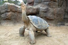 Galapogos tortoise #2