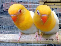 These have red eyes but I have no idea what color mutation this is. Love Birds Pet, Cute Birds, Pretty Birds, Beautiful Birds, Parrot Flying, Parrot Bird, Colorful Parrots, Colorful Birds, African Lovebirds