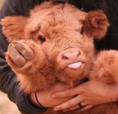 19 Reasons Why Cows Are Basically Just Really Big Dogs - I Can Has Cheezburger?You can find Baby cows and . Cute Baby Cow, Baby Cows, Cute Cows, Baby Farm Animals, Lil Baby, Animal Babies, Safari Animals, Fluffy Cows, Fluffy Animals