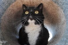 Baby, and her stunning whiskers, is waiting for a forever home at the BC SPCA Victoria Branch