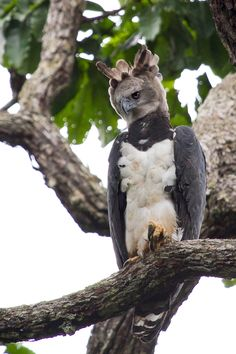 Harpia (Harpia harpyja) (by Silvana Licco)  Also known as the Harpy Eagle.