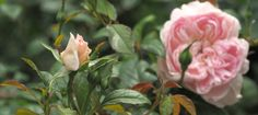 New Introductions from David Austin Roses for 2020 - Pumpkin Beth Traditional Roses, Shrub Roses, Rose Perfume, David Austin Roses, Large Planters, Chelsea Flower Show, Decorative Trim, Different Flowers, English Roses
