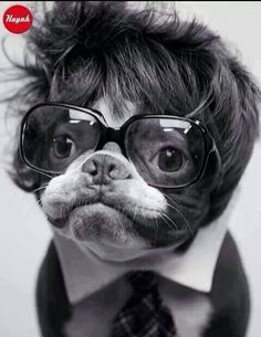 Dog in short hair wig & glasses