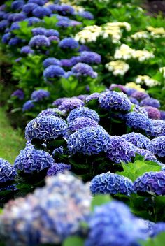 Beautiful blue hydrangeas can make a lovely border or hedge  in the garden