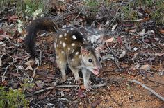 Chuditch or western quoll. Endangered species.Life span about 3-4years can live to 5.