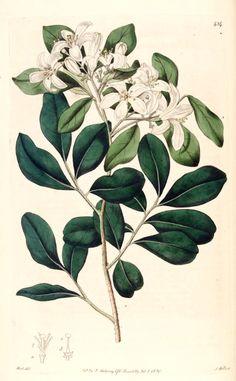 Hortus Camdenensis | Murraya paniculata (L.) Jack var. exotica (L.) M.R.Almeida