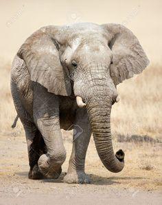 Elephant approaching over grassy plains of Etosha