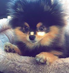 ❤️💗❤️ #pomeranian #pom #pomeranianworld #pomeranianpage #pompom #pomeranianloverpost #thedailypompom #coolangel369 #animal #animallover #photography #cuteness #mydogiscutest #lovely #beautiful #littlemonster #lionking #blackandtan #buddy #beautyandthebeast #bestwoof #fluffy #loveit #dogoftheday #pomeriaan #littleboy #pretty #sweet